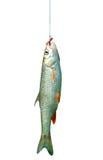 Vissen op een geïsoleerden haak Stock Afbeeldingen