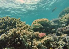 Vissen op een koraalhoofd op het Grote Barrièrerif Royalty-vrije Stock Fotografie