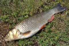 Vissen op gras Royalty-vrije Stock Foto's