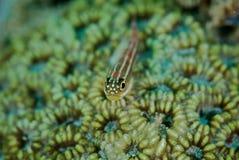 Vissen op koraal Stock Foto