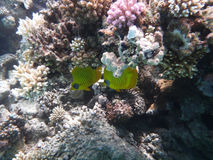 Vissen op koraalrif in Egypte Stock Afbeelding