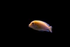 Vissen op zwarte achtergrond Stock Foto