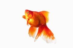 Vissen Oranje Gouden die Vissen op Witte Achtergrond worden geïsoleerd Stock Afbeeldingen