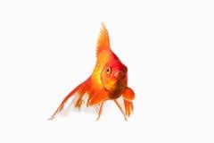 Vissen Oranje Gouden die Vissen op Witte Achtergrond worden geïsoleerd Stock Fotografie