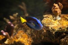 Vissen Palet surgeonfish, Paracanthurus-hepatus Royalty-vrije Stock Afbeeldingen