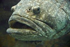 Vissen Reuzetandbaars Stock Afbeelding