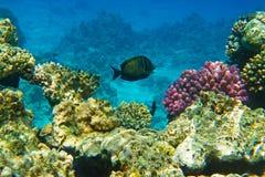 Vissen in Rode Overzees Stock Afbeelding