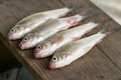Vissen - Siamese modderkarper Stock Afbeeldingen