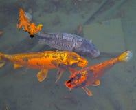 Vissen van een verschillende kleur in een vijver Royalty-vrije Stock Afbeelding