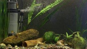 Vissen van het de familieaquarium van Xenotocaeiseni de rode de steel verwijderde van stock video