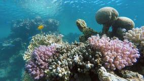 Vissen van het koraalrif De diepte van de oceaan stock video