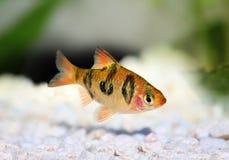 Vissen van het rhomboocellatus de zoetwater tropische aquarium van Rhombobarb puntius royalty-vrije stock foto's