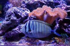 Vissen van het zijaanzicht de blauwe gestreepte koraal stock foto