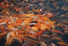 Vissen van meer QianDao in Hangzhou Royalty-vrije Stock Foto's
