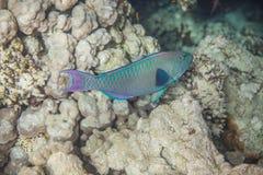 Vissen van middelgrote grootte de groene scarus Royalty-vrije Stock Foto