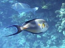 Vissen van Rode overzees stock afbeelding