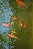 Vissen in Vijver Stock Afbeelding