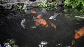 Vissen in vijver stock footage