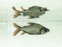 Vissen in water Stock Afbeeldingen