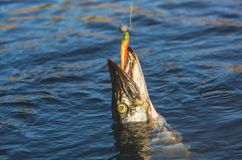 Vissen Zander op haak in een zoetwatervijver wordt gevangen die royalty-vrije stock afbeelding