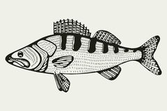 Vissen Zander Tekening Royalty-vrije Stock Afbeelding