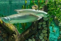 Vissen zilveren arowana in aquarium stock foto's