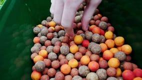 Vissenaas gekleurde ballen Het Lokmiddel van de visserij De visserij van aas stock footage