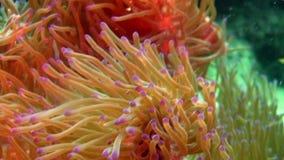 Vissenclown en anemoon onderwaterwereld op achtergrond van overzeese bodem in oceaan stock videobeelden