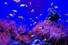 Vissenclown Fishes Anemone Aquarium Tank Royalty-vrije Stock Afbeeldingen