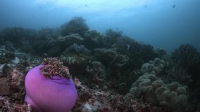 Vissendiversiteit in Raja Ampat Indonesia 4k stock videobeelden