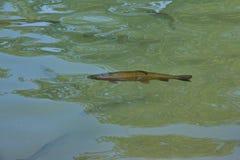 Vissenforel in de natuurlijke habitat Stock Afbeelding