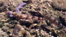 Vissenhuiden in een zeebedding onderwater in oceaan van het wild Filippijnen stock footage