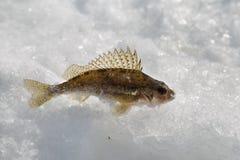 Vissenkemphaan Royalty-vrije Stock Afbeeldingen