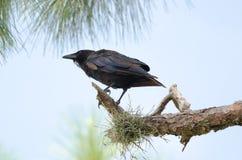 Vissenkraai (Corvus-ossifragus) Royalty-vrije Stock Foto's
