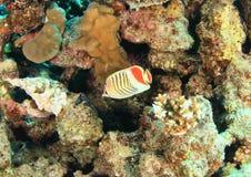Vissenkroon butterflyfish royalty-vrije stock afbeelding
