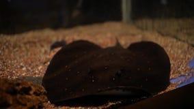 Vissenpijlstaartrog in aquarium stock videobeelden