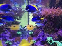 Vissentank: Geel Tang, Hepatus, poedert Blauw, Vosgezicht Stock Foto