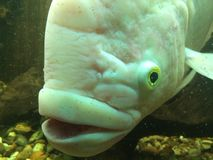 Vissenwaanzin Stock Fotografie