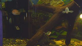 Vissenweerhaken in het aquarium stock footage