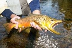 Visser die een gelande bruine forel tonen royalty-vrije stock fotografie