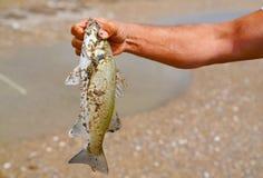 Visser die een vers gevangen baars in zijn hand uitstellen stock afbeelding