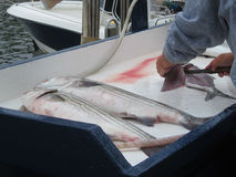Visser het fileren gestreepte basvissen Stock Afbeelding