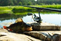 Visserij bij het spinnen De vangst op de spinnende staaf op de rivier Een toppositie op een haak Sporten met het spinnen Ontspan  royalty-vrije stock afbeelding