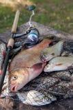 Visserijconcept, trofeevangst - grote zoetwater gemeenschappelijke die brasem als bronsbrasem of van de karperbrasem brama van Ab stock afbeelding