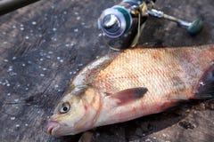 Visserijconcept, trofeevangst - sluit omhoog mening van enkel genomen uit het water grote zoetwater gemeenschappelijke die brasem royalty-vrije stock foto's