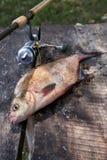 Visserijconcept, trofeevangst - uit de water grote zoetwater gemeenschappelijke die enkel brasem wordt genomen als bronsbrasem of stock afbeelding