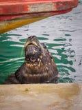 Vissershaven en zeeleeuwen, stad van Mar del Plata, Argentinië stock foto
