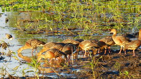 Vissla änder Kakadu Australien Royaltyfria Foton