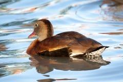 Vissla Duck Swimming i det blåa vattnet Royaltyfri Bild
