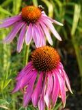 Vissna den purpurfärgade echinaceaen tilldrar blommor pollinators arkivfoton